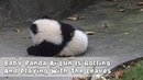 Baby Panda Ai Lun Is Rolling And Playing With The Leaves | iPanda