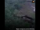 Храбрый пес прогнал медведя в Норильске