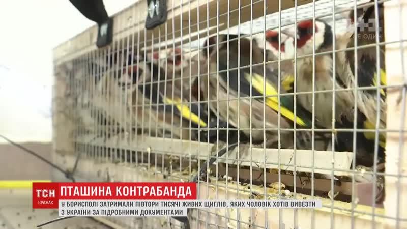 Від неволі та виснаження загинула третина щиглів, які застрягли на митниці в Борисполі