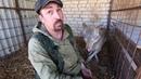 Лечение волка Хука кафедра охотоведения охотовед pw