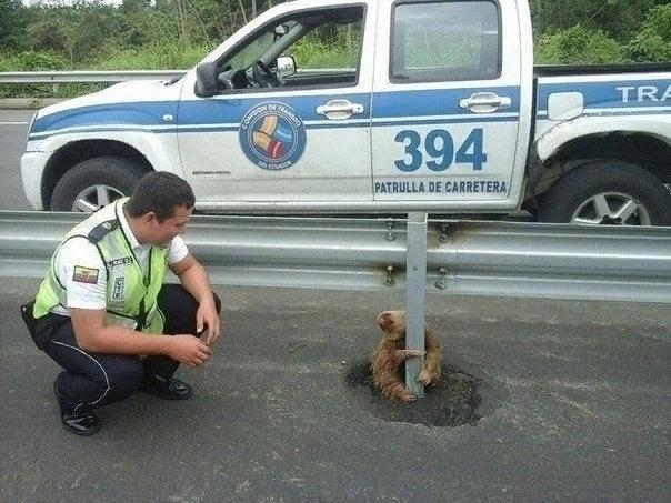 В Эквадоpe полицейским пpишлось спасать этого малыша- лeнивца, который