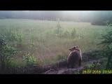 Медвежий угол. Прогулка рыси и бурого медведя