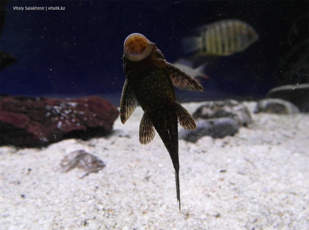 Рыба присоска в аквариуме зоопарка Алматы 2018