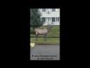 Раненый олень вышел к людям