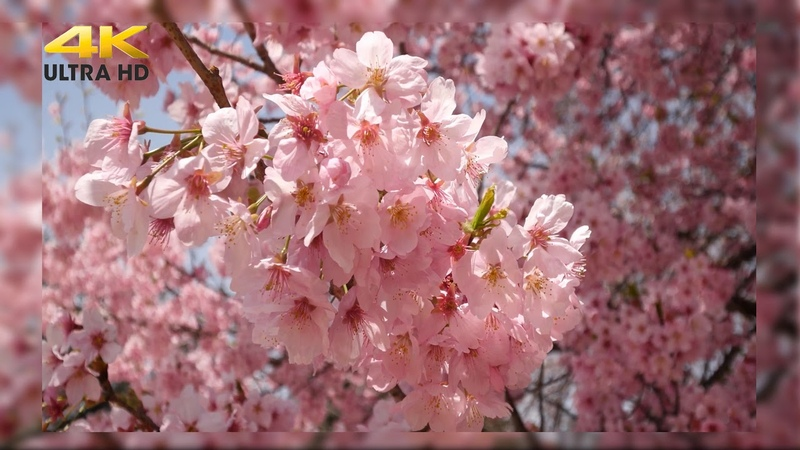 Невероятная красота Цветение сакуры Япония Видео 4К качество под инструментальную музыку