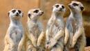 Сурикаты едят с рук. Ручной зоопарк