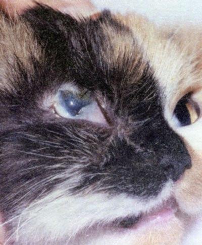 Геморрой у кошки лечение в домашних условиях