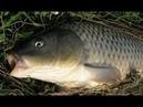 Простое тесто для рыбалки Карась Лещ Плотва