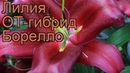 Лилия от-гибрид Борелло (lilium ot-hybrid borrello) 🌿 обзор: как сажать, луковицы лилии Борелло