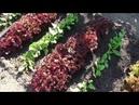 Опыт выращивания салата ЛОЛЛО РОССА отличный салат
