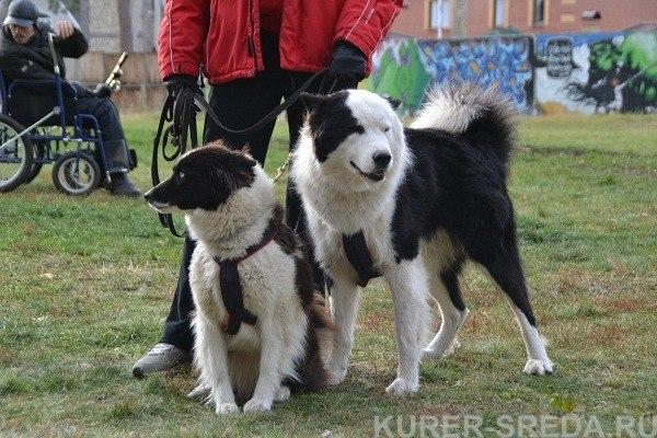 ПОЖАЛУЙСТА, измерьте собак в холке  JzdrKjc7YkI