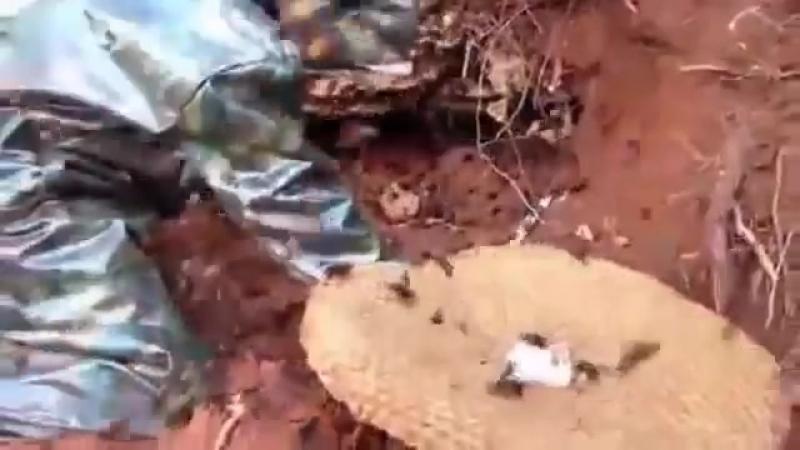 Огромные шершни Giant Hornet hive inside soil