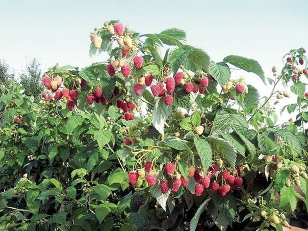 Легкий способ выращивания ремонтальной малины