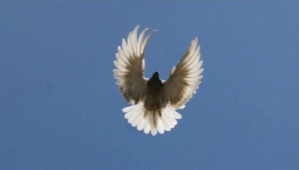 выворота маховых перьев не