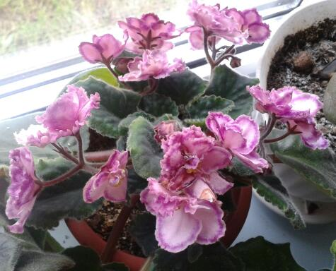 Цветы у Ликки N8z8UNPW3Ts