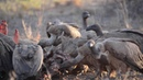 White-backed vulture / Африканский гриф / Gyps africanus