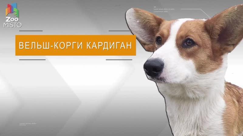 Вельш Корги Кардиган Все о породе собаки Собака породы Вельш Корги Кардига
