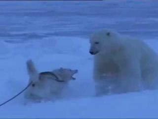 Полярный медведь против собаки. Dog vs Polar Bear