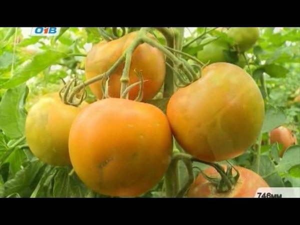 Выращиваем киви в России