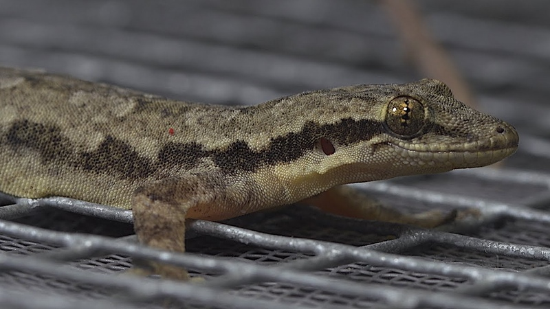 The Gecko's Latest Superpower Revealed
