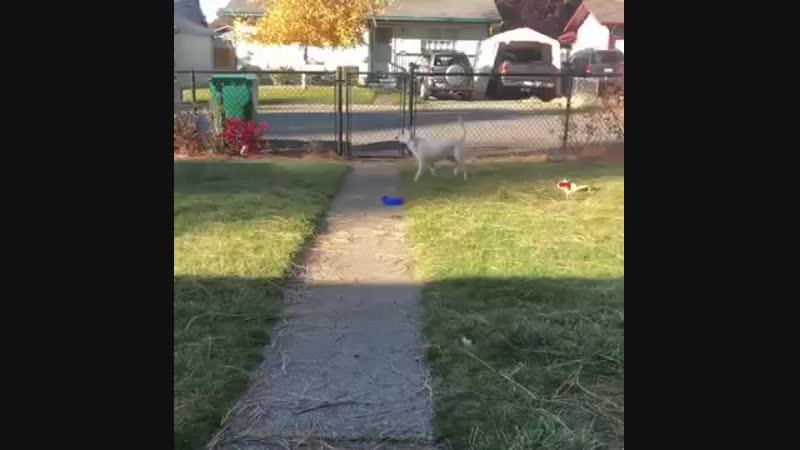Главный герой этого видео австралийская овчарка по кличке Опал Она родилась глухой и слепой в результате плохой селекции Нес
