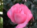 Ernesto Cortazar Autumn Rose Эрнесто Кортазар Осенняя роза