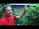 Выращивание ежевики от специалиста с многолетним стажем