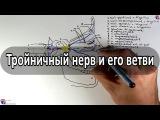 Тройничный нерв (5 пара ЧМН) и его ветви - meduniver.com