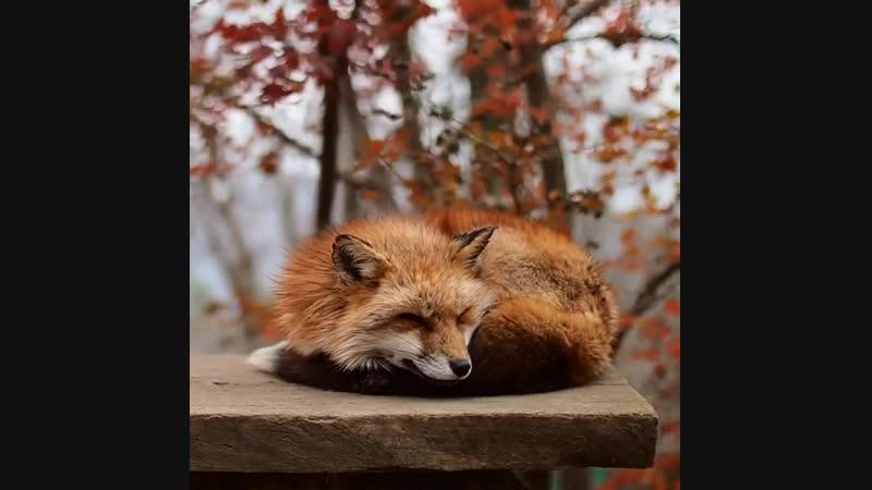 Лиса отдыхает
