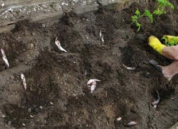 Зачем помидорной рассаде тухлая рыба Гонясь за большим урожаем помидор, огородники придумывают неожиданные варианты подкормок. Например, при выращивании и посадке томатов, используют рыбу или