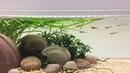 Hillstream aquarium minnows in the current