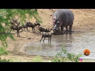 Бегемот утопил антилопу, пытаясь переправить её на другой берег