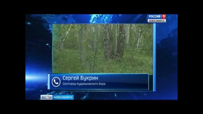 Троих медведей заметили на трассе под Новосибирском