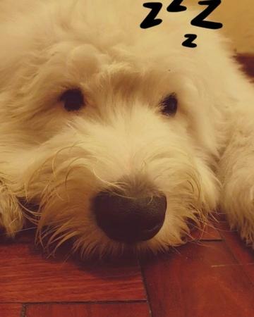 Maui Bravo Mejia on Instagram solo cerraré mis ojitos por un ratito 😪😪 bobtail bobtailpuppy bobtaildog puppygram puppylove i