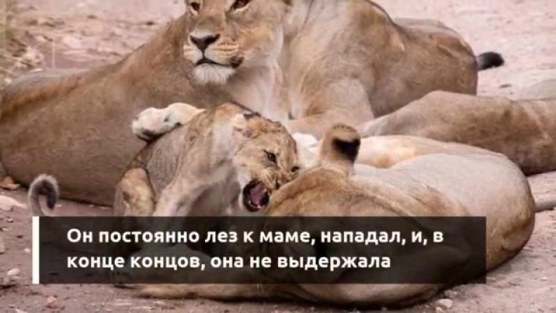 Львица притворилась, что откусит голову назойливого львенка