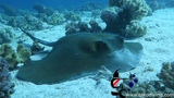 Scuba Diving with big Ray with Tako Diving Hurghada in Red Sea