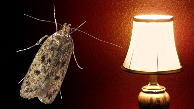 The Moth and the Lamp (very sad story)