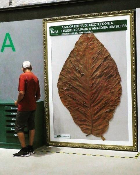 Крупнейший лист двудольного растения, найденный на Амазонке