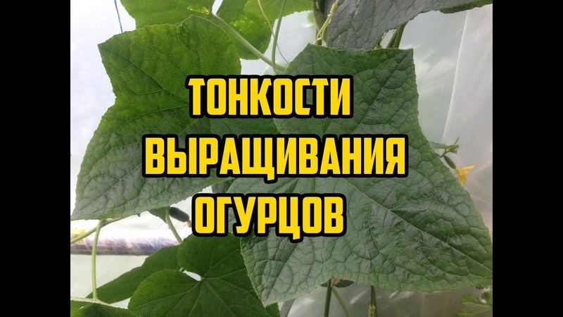 Выращивание огурцов в открытом грунте / Все секреты в одном видео