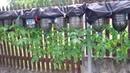 Выращивание помидоров в бутылке. Фильм-1.