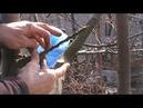 Прививка груши в приклад