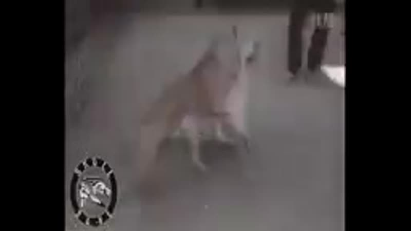 нормально псы пиздинг ! 2