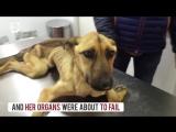Трансформация пса, который чуть не умер от голода.