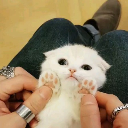 "9GAG: Go Fun The World on Instagram: ""toe beans ❤️ - 📹 @catfriends1004 • 9gag nekostagram neko babycat catlover cats persiancat"""