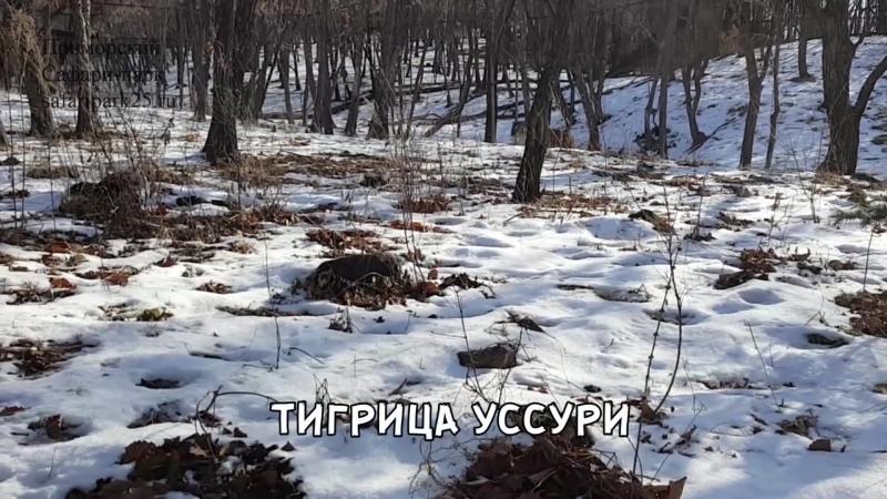 ТИГРЫ ПРИМОРСКОГО САФАРИ-ПАРКА 14 МАРТА 2018 Г.