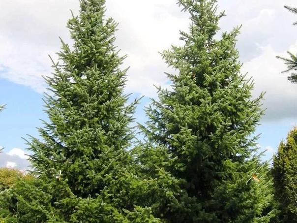 Разница между елью и сосной Как известно, леса это «легкие планеты». А самая первая ассоциация при слове «лес» поросль сосны и ели. Без этих деревьев мы слабо представляем свою жизнь. Мы