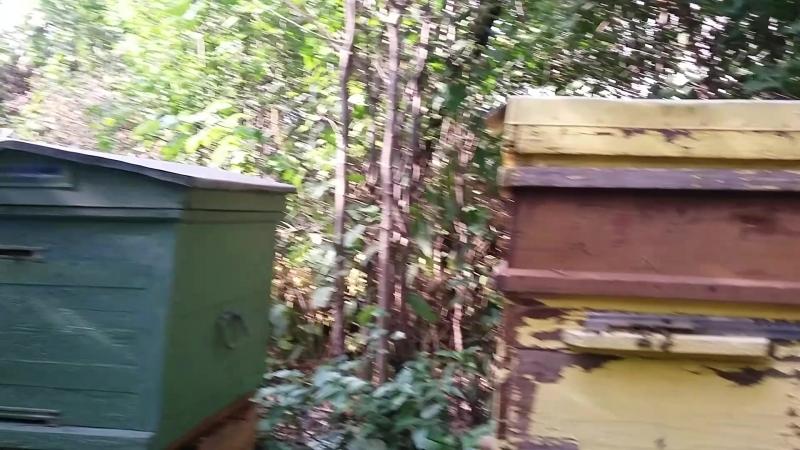 пчелы пчелы и собака