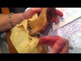 Соединение костей черепа