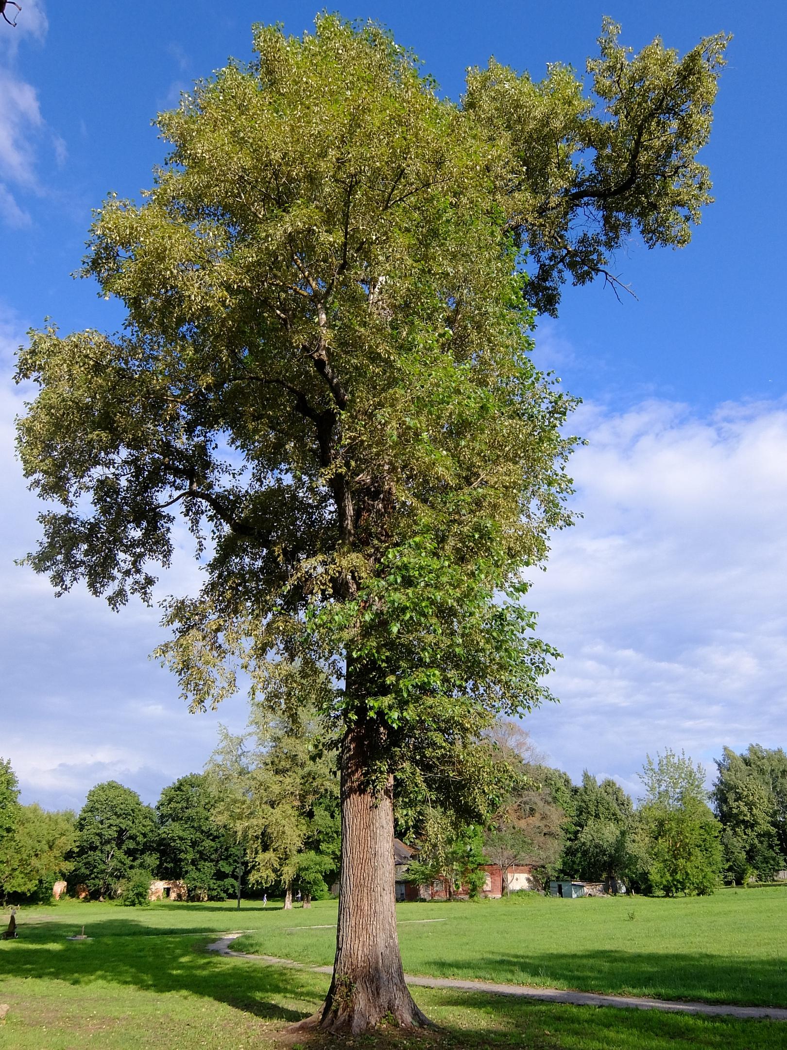 Большое дерево возле усадьбы Демьяново и хозяйственные постройки за ним