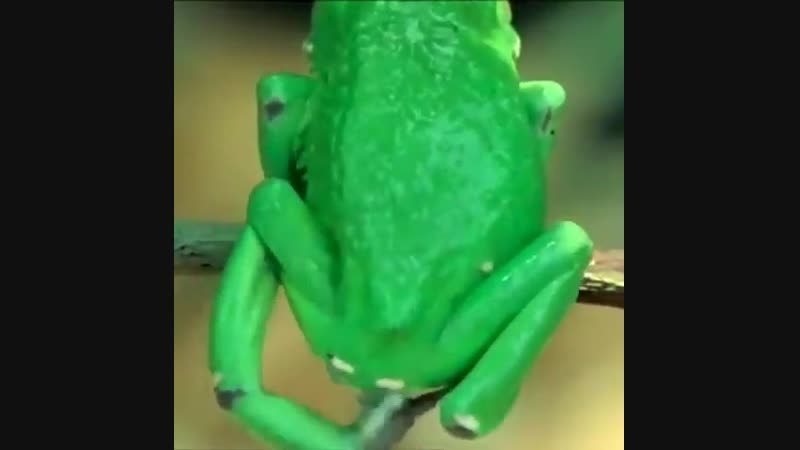 The giant monkey frog covers itself in a skin secretion to prevent drying out in the sun